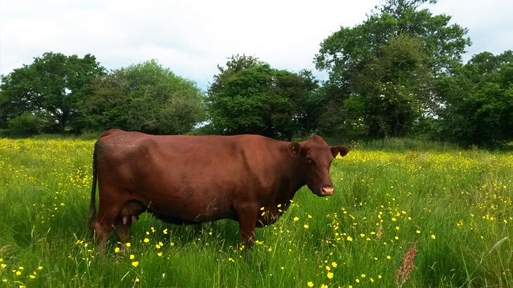 New website for a rare cattle breed society
