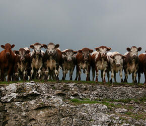New Instruction – The Longhorn Cattle Society